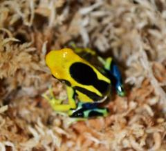 Giant Orange Tinc Dart Frogs