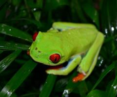 Adult Red Eyed Tree Frogs w/minor nose rub