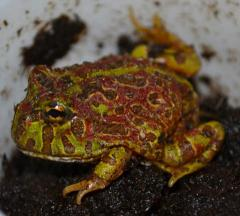 Baby High Red Ornate Pacman Frogs
