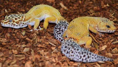 Adult Male Super Hypo Tangerine Leopard Geckos