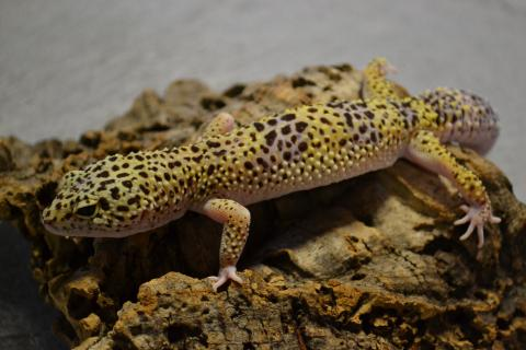 adult leopard geckos Pic of