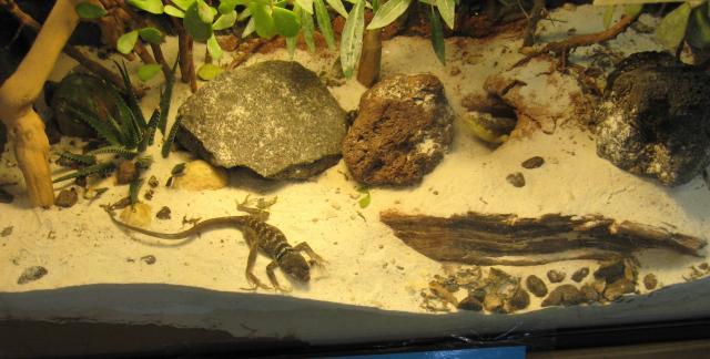 Collard Lizard Vivarium