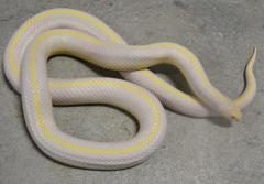 Adult Albino Striped California Kingsnakes