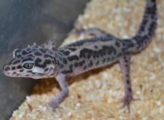 Leopard Geckos Archive
