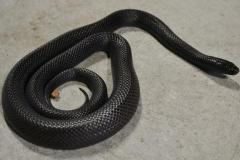 Sub Adult Mexican Black Kingsnakes