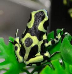 Adult Green & Black Auratus Dart Frogs