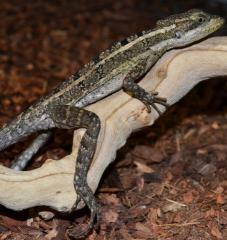 Small Brown Basilisks w/regrowing tails