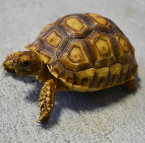 Small Sulcata Tortoises for sale