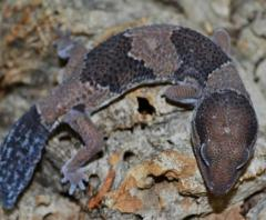 Small African Fat Tailed Geckos w/regrown tails