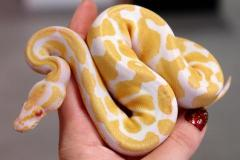 Small Albino Ball Pythons