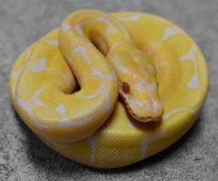 Baby Albino Spider Ball Pythons