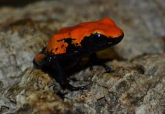 Orange Splashback Dart Frogs