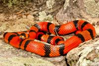 Kingsnakes and Milksnakes