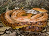 Cornsnakes and Ratsnakes