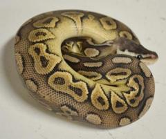 Baby Pewter Ball Pythons