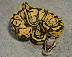 Baby Super Pastel Ball Pythons