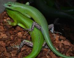 Emerald Tree Skinks