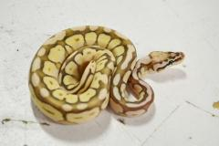 Baby Queen Bee Ball Pythons