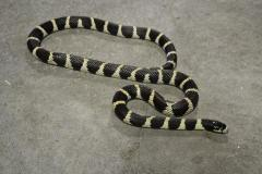 Sub Adult Banded Black & White California Kingsnakes