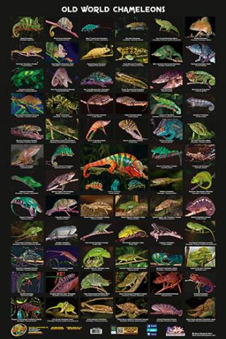 Old World Chameleons Poster