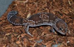 Adult African Fat Tail Geckos