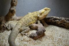 Adult Leatherback Bearded Dragons