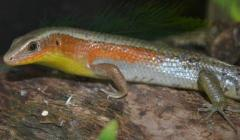 Orange Throated Skinks