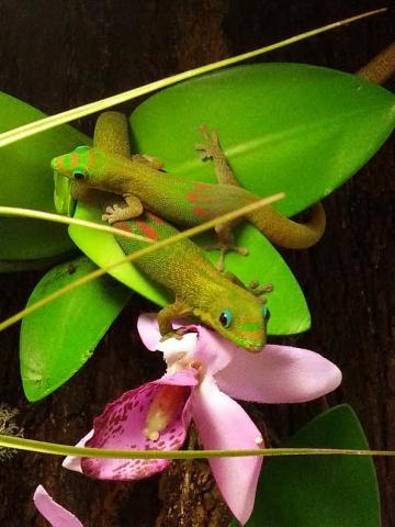 Gold Dust Day Geckos