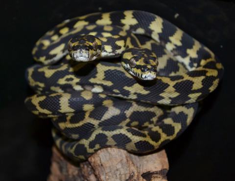 Baby Irian Jaya Carpet Pythons For Sale