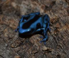 Blue & Black Auratus Dart Frogs