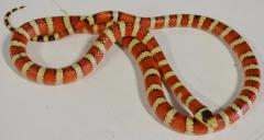 Adult Arizona Mountain Kingsnakes