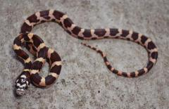 Baby Jungle Kingsnakes