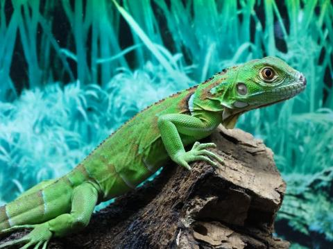 Blue Iguana For Sale : Baby green iguanas for sale