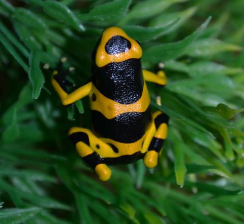 Banded Bumblebee Arrow Frogs