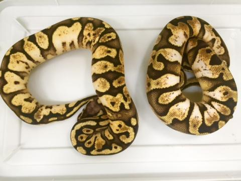 Baby Calico Pastel Ball Pythons