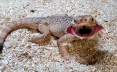 Adult Frilled Toad Headed Agamas