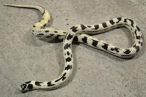 Adult High White Aberrant California Kingsnakes