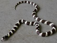 Adult Black & White Banded California Kingsnakes