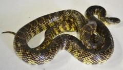 Adult Brooks Kingsnakes