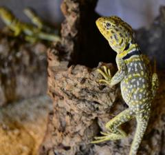 Eastern Collared Lizards