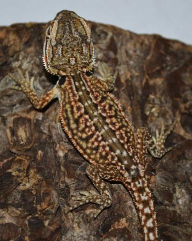 Baby Dunner Leatherback Bearded Dragons