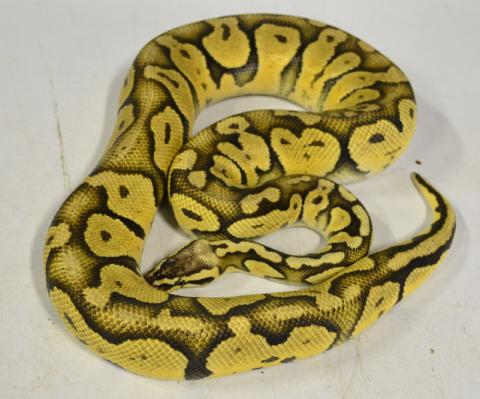 Adult Super Pastel Ball Pythons For Sale