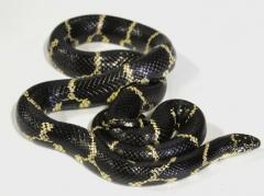 Sub Adult Eastern Chain Kingsnakes