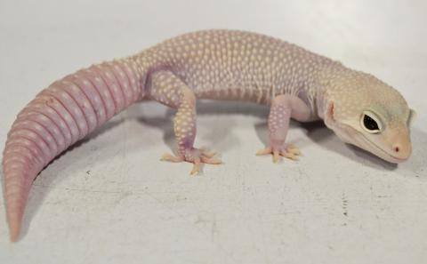 Speaking, try Pics of adult leopard geckos