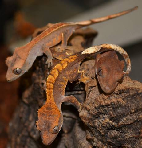 Image result for baby crested gecko