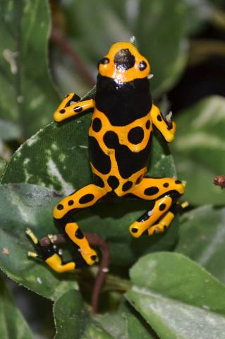 Sub Adult Bumblebee Dart Frogs