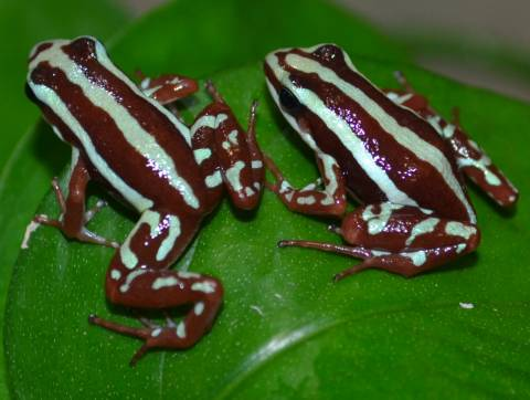 Santa Isabel Phantasmal Dart Frogs