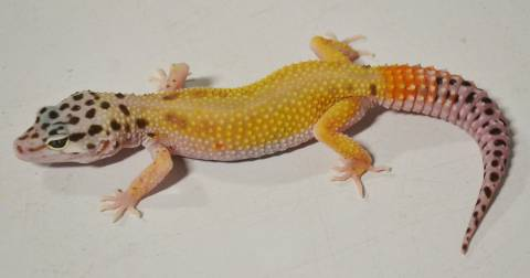 Small Tangerine Jungle Leopard Geckos