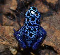 Blue Azureus Dart Frogs