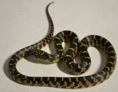 Small Florida Kingsnakes